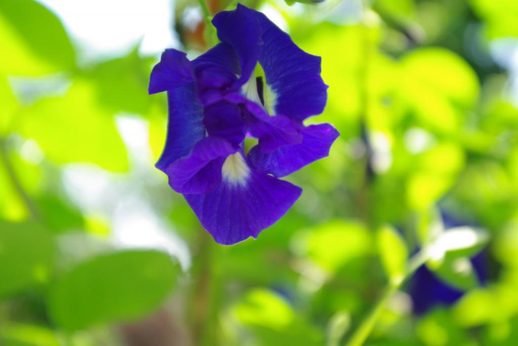 バタフライピーの花